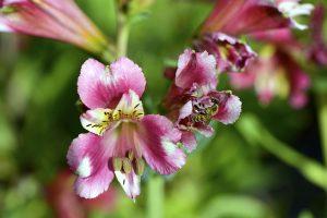Kvitnúca letná cibuľovina