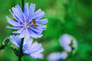 Pestrica na kvete na lúke