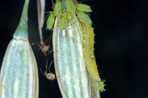 Larva pestrice a vošky