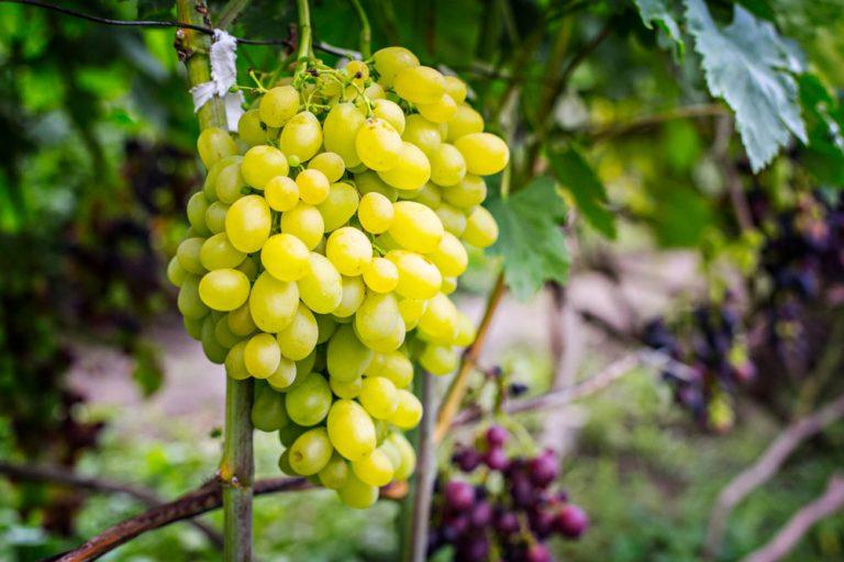 Krok za krokom: Zelené práce vo vinici