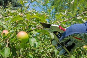 Letný rez jablone