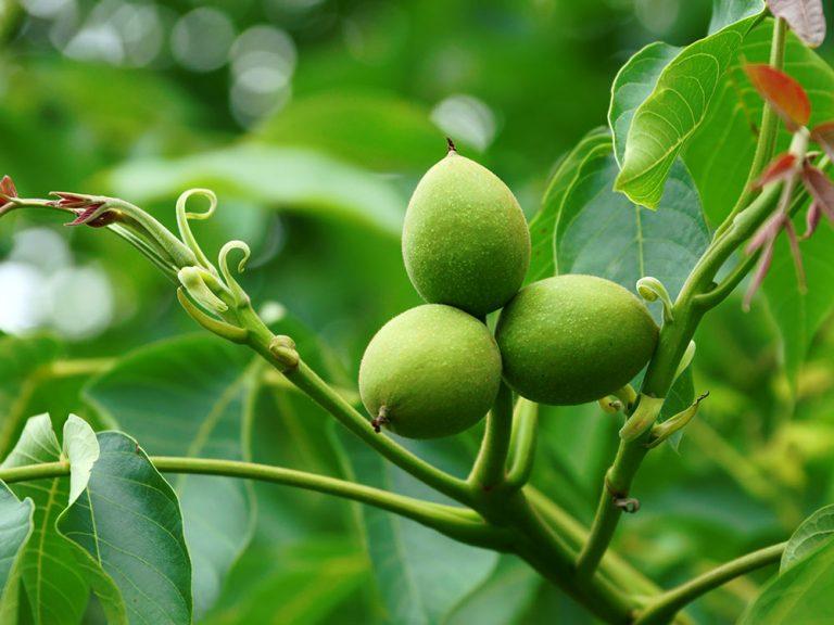 Ako bojovať proti škodcom orecha kráľovského
