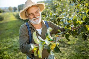 Záhradník robí letný rez ovocných stromov