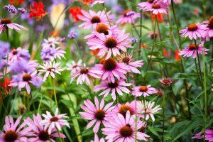 7 augustových kvetov, ktoré rozžiaria vašu záhradu