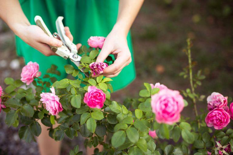Ako si rozmnožiť ruže pomocou odrezkov