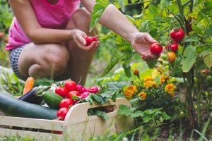 Zber paradajok v záhrade, bednička s úrodou