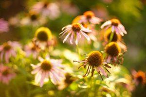 Echinacea: Priláka hmyz a rozžiari záhradu na dlhé týždne