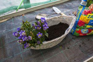 Výsadba horca do kvetináča