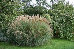 Okrasná tráva v záhrade