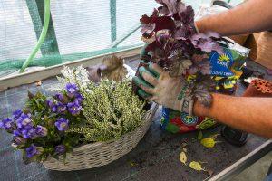 Výsadba heuchery do kvetináča so starčekom, vresom a horcom