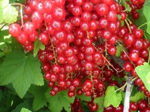 Červené ríbezle, odroda Tatran