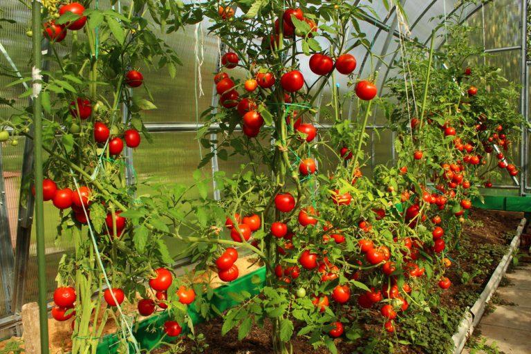 Ako predísť hubovým ochoreniam rajčín v skleníku?