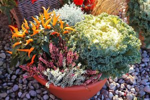 Vres, ozdobná paprička a ozdobná kapusta v kvetináči