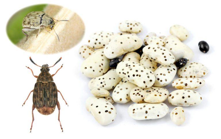 Zrniarka fazuľová, chrobák vo fazuli