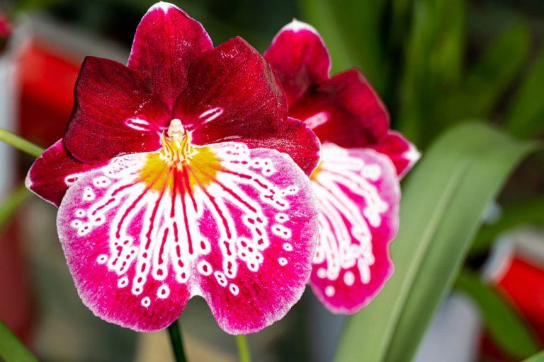 Miltónia je nenáročná orchidea. Čo robiť, ak prestala kvitnúť?