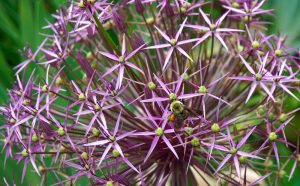Okrasný cesnak Allium christophii