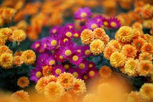 oranžové a fialové hhryzantémy