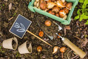 Výsadba cibuľovín