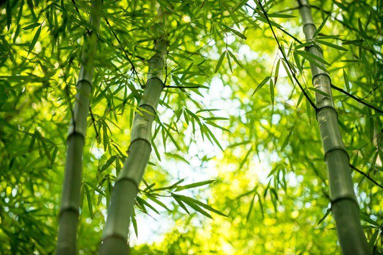 Pestujte bambusy tak, aby vám neprerástli cez hlavu