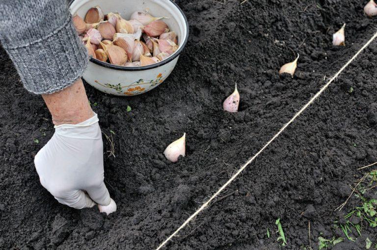 Výsadba cesnaku na hriadku