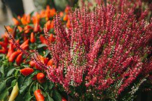Vres a čili paprička v kvetináči
