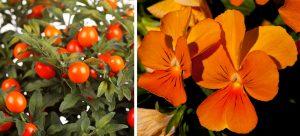 Ľuľok a oranžová sirôtka
