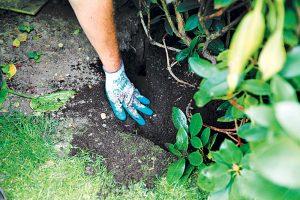 Dosypanie substrátu pri výsadbe rododendronu