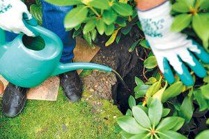 Polievanie rododendronu