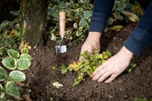 Výsadba pôdopokryvnej zelene