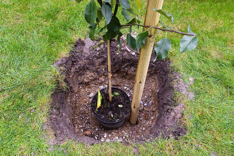 Na ktorú svetovú stranu sa pri výsadbe ovocného stromu zatĺka oporný kolík?