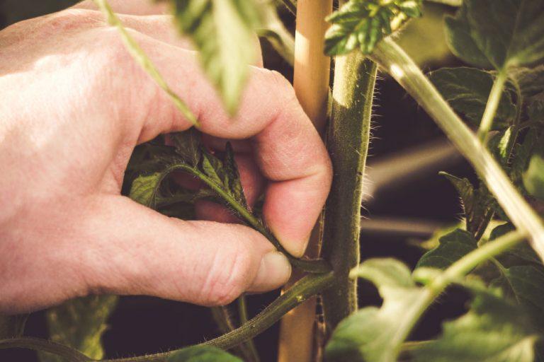 Vyštipovanie paradajok