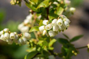 Kvitnúca čučoriedka