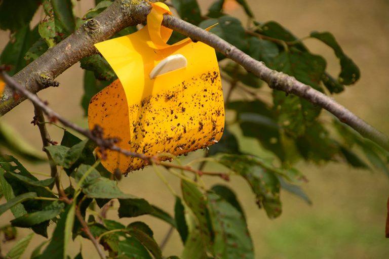 Boj so škodcami v záhrade: Na čo sa používajú feromónové lapače?