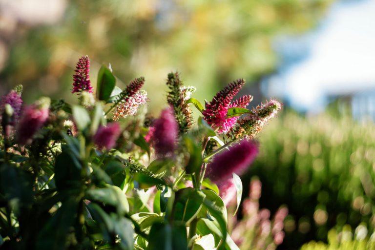 Vždyzelené hebe má mnoho podôb a hodí sa do každej záhrady. Ako ho pestovať?
