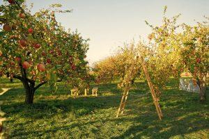 Ovocný sad, drevený rebrík