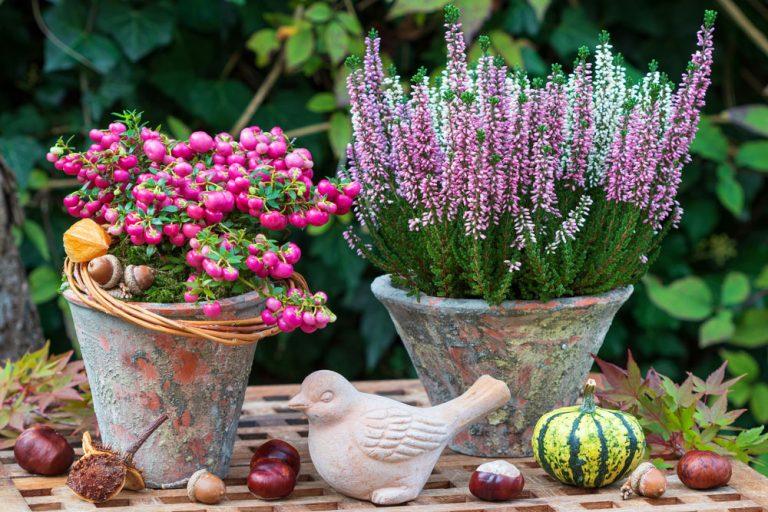Vresovec a pernettya v kvetináčoch, jeseň