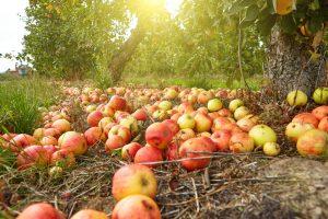 Jablká popadané pod stromom, jeseň