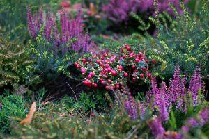 Pernettya, vresovec a vres v záhrade