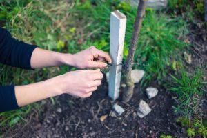 Uväzovanie mladého stromu ku kolíku