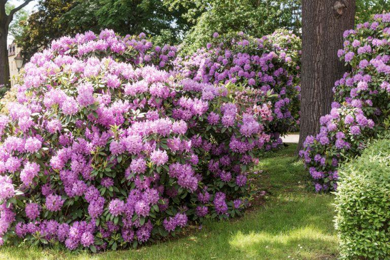 Teraz je vhodné obdobie na výsadbu rododendronu. Takto to nepokazíte