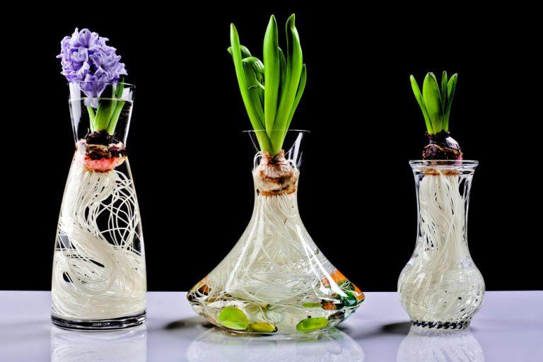 Hyacinty vo vode