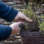 Zrezanie byliniek pestovaných v nádobách na jeseň