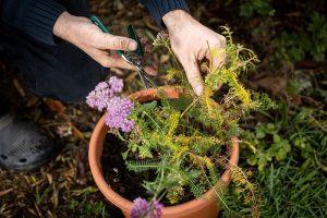 Ostránenie suchých kvetov z kvetináča pred zazimovaním trvaliek