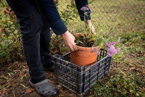 Zazimovanie trvaliek v kvetináči