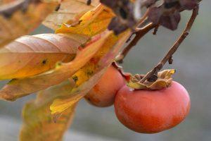 Hurmikaki: Obľúbené neskoré ovocie, ktoré dopestujete aj vo svojej záhrade