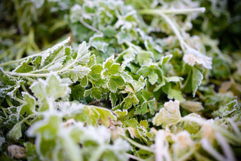 Zamrznutá petržlenová vňať