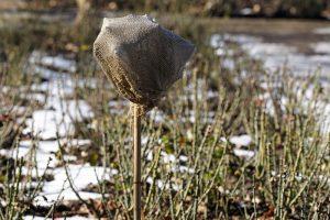 Zazimovanie stromčekových ruží