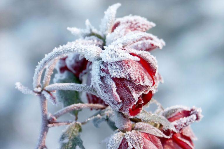 Ako ochrániť ruže pred zimou