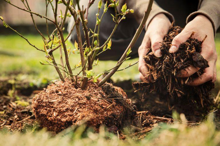 Ako pripraviť pôdu pre čučoriedky?