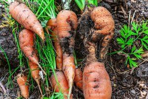 Vŕtavka mrkvová
